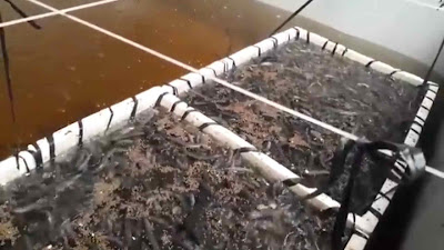cara buat umpan tambahan modal kecil untuk pakan ikan belut
