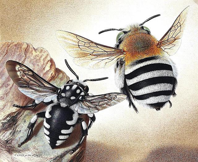 Walter Linsenmaier bumble bees 1954?