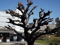 Severely pruned Cockspur coral tree - Hama-Rikyu Garden, Tokyo, Japan