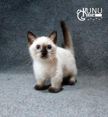 Efek Meo Persian untuk Kucing