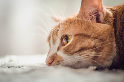 A white and ginger cat lies on a bed