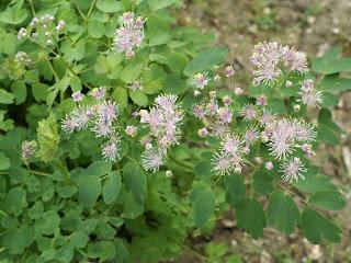 Pigamon à feuilles d'ancolie - Thalictrum aquilegifolium