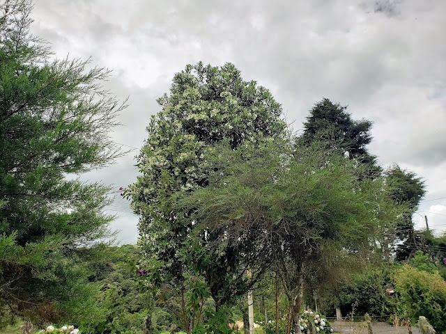 winteraceae drymis granatensis tree costa rica