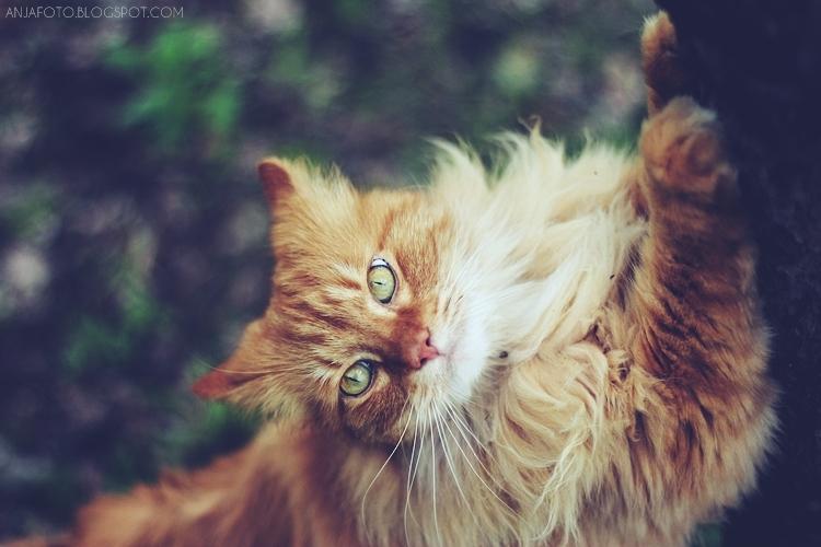 kot, kot norweski leśny, fotografia kotów, rudy kot, rude koty, canon 50 1.4