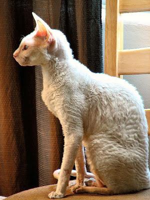 Kucing Cornish Rex - Sekitar Dunia Unik