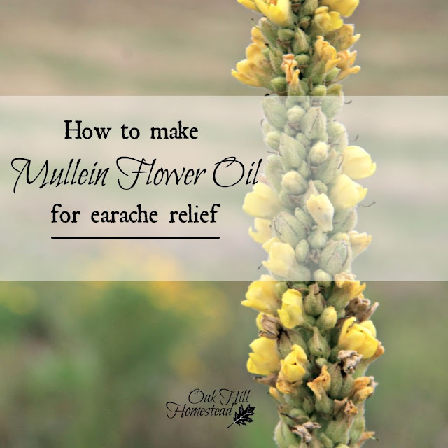 Mullein flower oil is a natural remedy for painful earaches.
