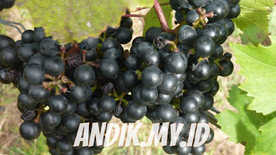 anggur, buah anggur, khasiat anggur, manfaat anggur, gizi anggur, nutrisi anggur,