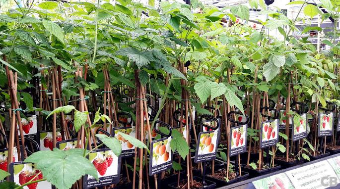 Frambozenplanten in het tuincentrum