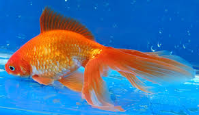 Jenis Ikan Koki Fantail