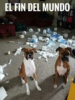 Dos perros boxer destrozan muchos rollos de papel higiénico