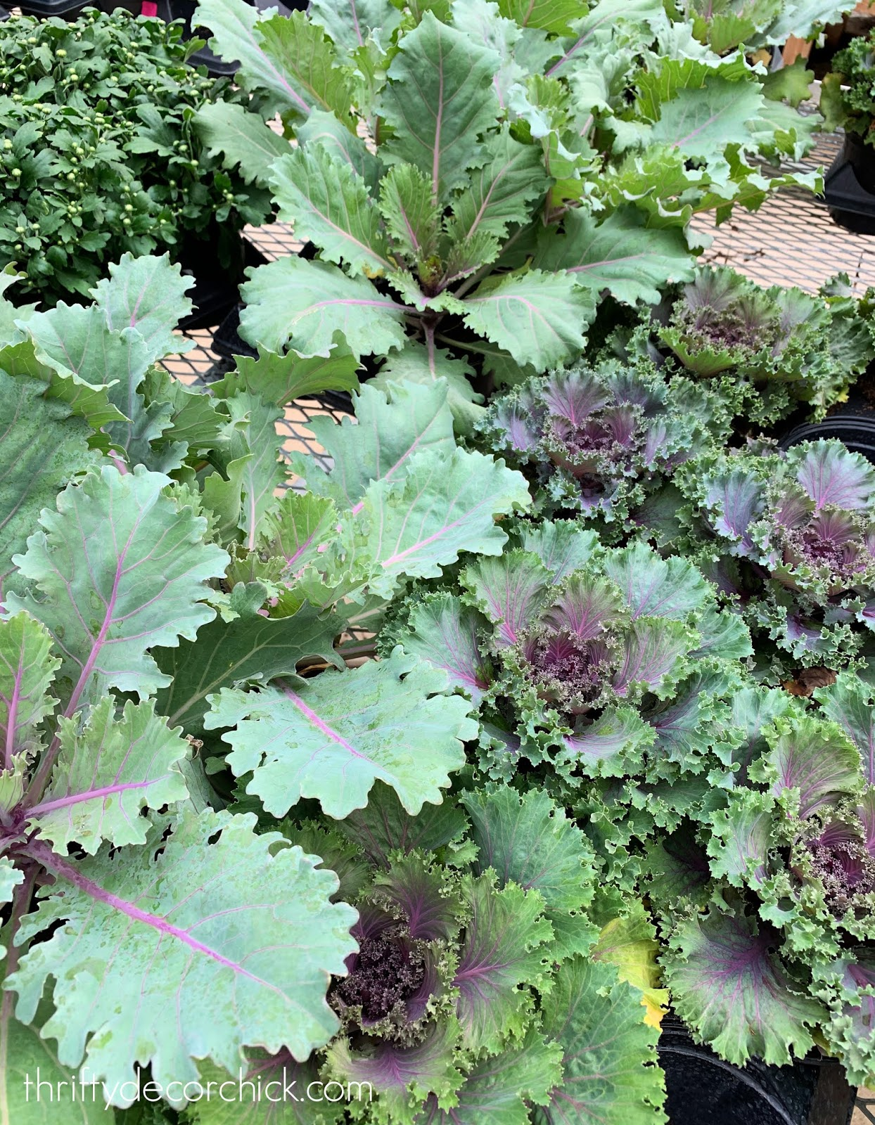 Green and purple kale for fall planters