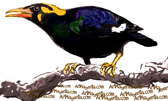 Hill Myna, Beo  sketch painting. Bird art drawing by illustrator Artmagenta