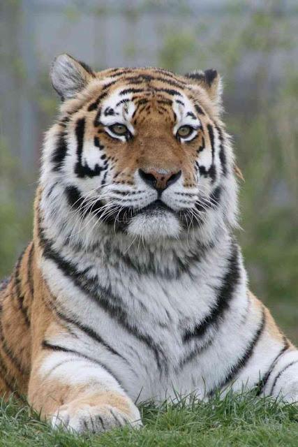 احلى صور حيوانات 2020  صور نمور