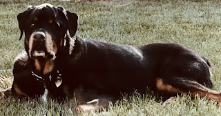 George, the rottweiler in the book #NewBook #DebutAuthor #2021Books Spotlight on New Book Debut Author Megan E. Freeman
