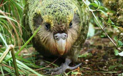 تعرف على اغرب طائر في العالم ومهدد بالانقراض !