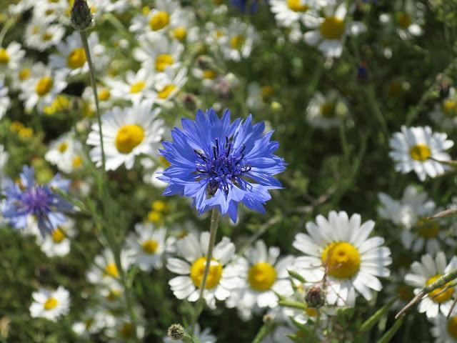 Cornflower and field chamomile.