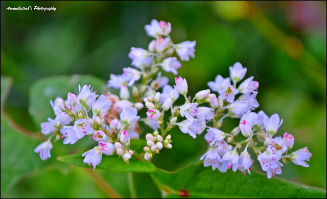 White flowers, set of White Flowers, Pink Color,