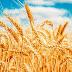 Plantio do Trigo no Estado começa pela região de Ijuí