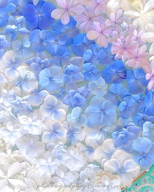 Hortensias blancas, azules y flotando en agua