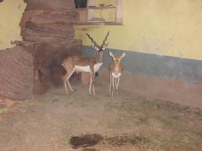 Black Buck Deer ~ ABDUL BASIT AND DANISH KAKAR BIRDS SHOP