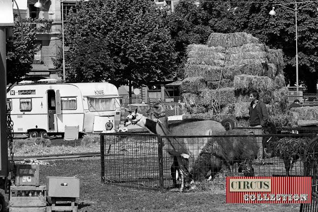 lamas et alpaga du Cirque National Suisse Knie  1970