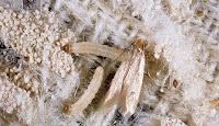 güve, kumaş güvesi tırtıl kelebek