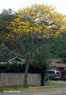 Golden Shower tree, Kailua, Oahu
