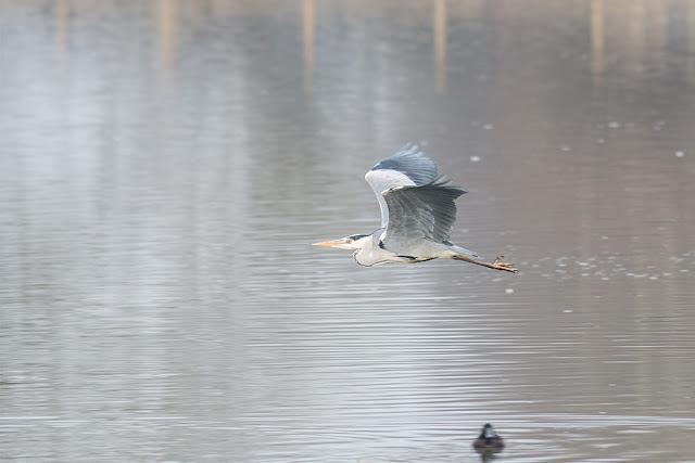 Grey Heron in Flight (2)