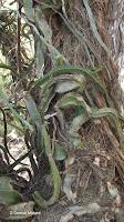 Cactus vine close up - Koko Crater Botanical Garden, Oahu, HI