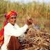 बाजरे की खेती कैसे की जाती है और बाजरे की संकर प्रजाति
