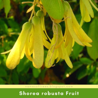 Shorea robusta Fruit