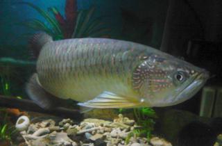 Makana ikan arwana irian