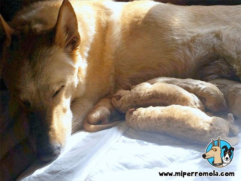 Cachorros de Can de Palleiro con su madre