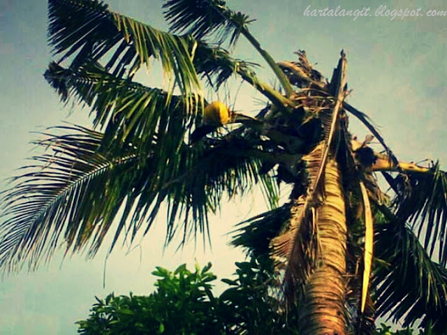khasiat minyak kelapa nunggal - harta langit