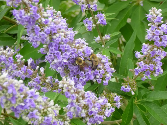 Bumble bees on chaste tree (Vitex agnus-castus) flower spike