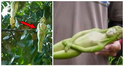 mysterious women shaped fruit in thailand