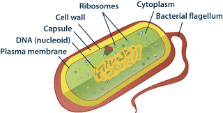 Prokaryotic Cell : Structure Functions