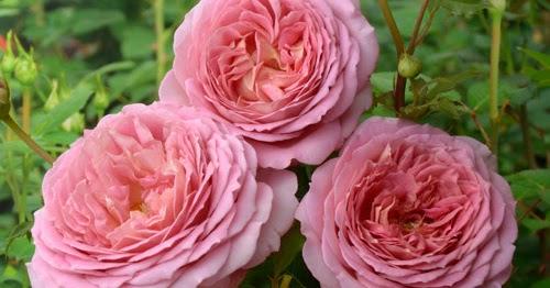 Розы шрабы описание виды посадка уход фото