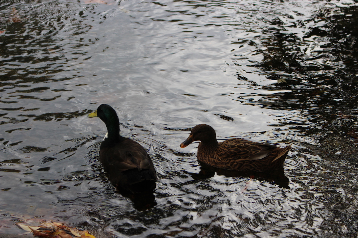 This is a close up of the ducks at the Brandywine Park.