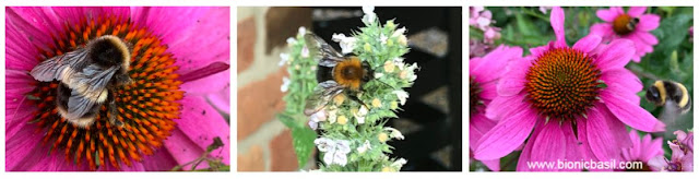 Bee's at BBHQ on Catnip and Echinacea ©BionicBasil® The Pet Parade 353