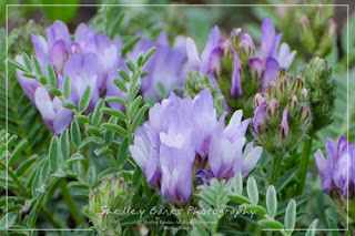 Purple Milkvetch. Copyright © Shelley Banks, all rights reserved.