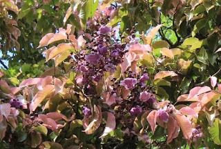 arvore-sapucaia-com-folhas-rosadas-junto-com-as-flores-roxasflorida