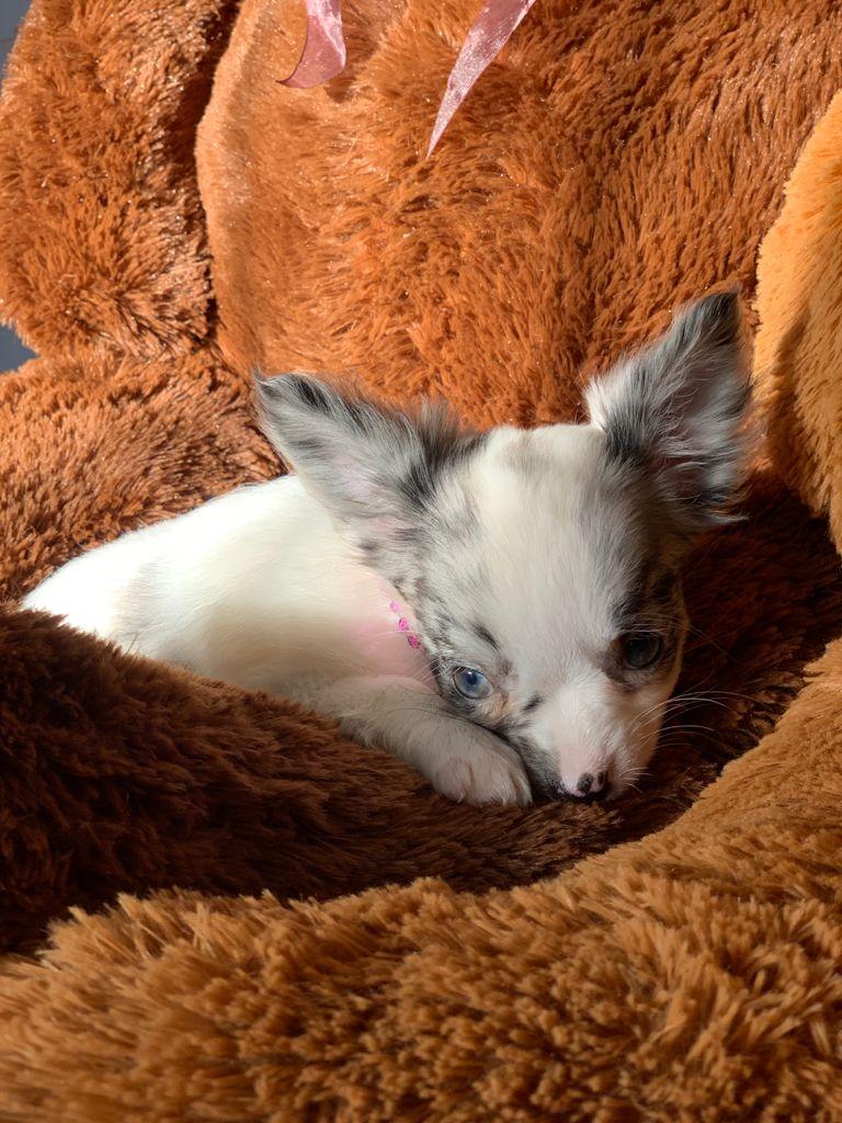 Chihuahua Pied Merle