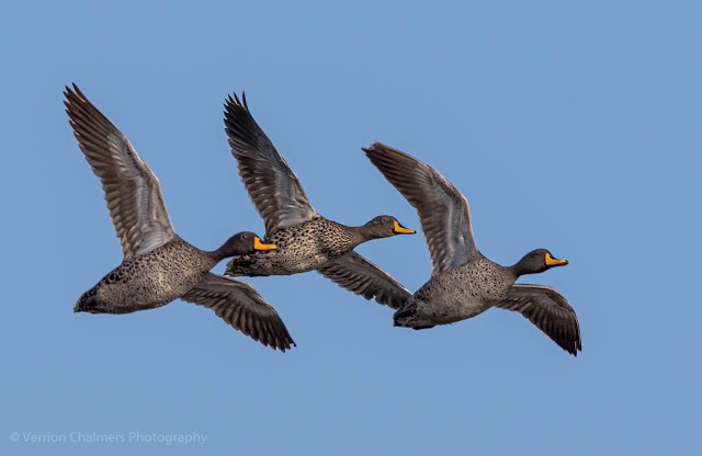 Yellow-Billed Ducks in Flight Table Bay Nature Reserve Woodbridge Island Vernon Chalmers Photography Copyright