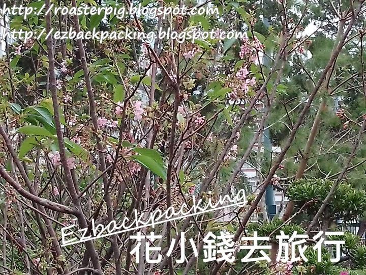 九龍城櫻花