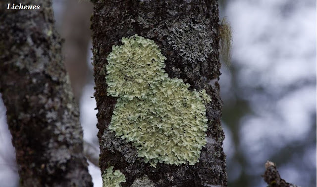 Lumut Kerak / Lichenes