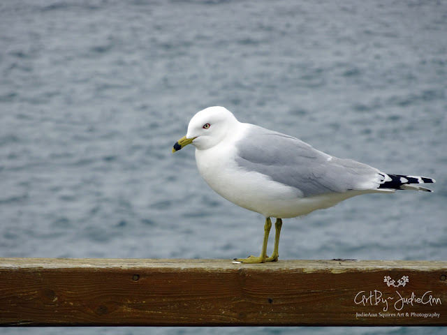 Seagull Photos