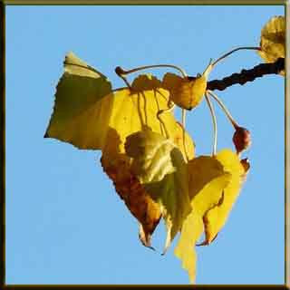 kavak ağacı  hüzün keder sonbahar ağaç çiçek yaprak