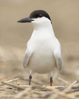 the stately Gull-billed Tern showing off its namesake feature © Michael Kilpatrick