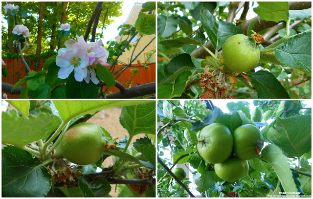 An early harvest of beautiful Scottish apples - From apple blossom to full grown apples, the life of an apple